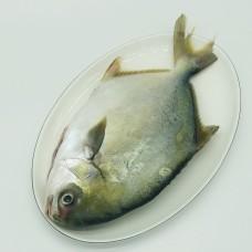 金鲳鱼(800G)