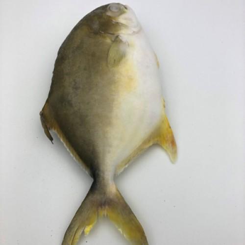 金鲳鱼(约800G/条)